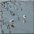 SK6143 : Gulls on the ice, Southern Basin by Alan Murray-Rust