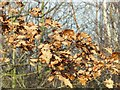 SK6144 : Windswept leaves by Alan Murray-Rust