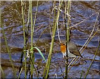 H4772 : A robin perched along the Camowen River at Cranny by Kenneth  Allen