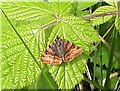 TQ8019 : Burnet companion moth in Pond Wood, Brede High Woods by Patrick Roper