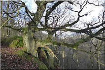 SK2563 : Oak on the edge of Stanton Moor by David Lally