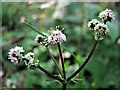 TQ8020 : Sanicle flowers, Brede High Wood by Patrick Roper