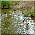 SJ9052 : Canada geese near Norton Green, Stoke-on-Trent by Roger  Kidd