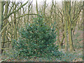 SE2432 : Holly tree in Post Hill woods by Stephen Craven