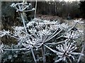 NZ1759 : Frosted umbel, Gibside by Andrew Curtis