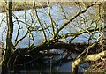 SK4531 : Partly submerged willow alongside the River Derwent by Alan Murray-Rust