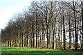 SE6076 : Wooded margin of The Avenue by Gordon Hatton