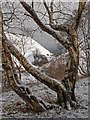 NT0873 : Silver Birch and snow on Greendykes Bing by Greg Fitchett