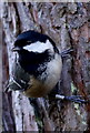 NJ2469 : The ubiquitous Coal Tit (Periparus ater) : Week 4