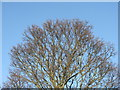 NT2470 : Sycamore crown in winter by M J Richardson