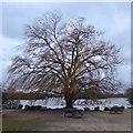 SK5133 : Willow tree at Attenborough by David Lally