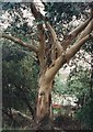 TM1614 : Alton Park Junior School grounds: eucalyptus by Duncan Graham