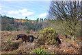 SU8937 : Horses on the Heath by Des Blenkinsopp