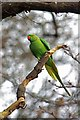 TQ3770 : Ring Necked Parakeet by Glyn Baker