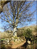 SX7582 : Tree by path along west side of Hunters Tor by David Smith