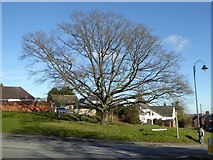 SO7845 : Tree beside Barnards Green Road by Philip Halling
