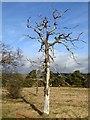 NY9864 : Dead tree at Corbridge by Oliver Dixon