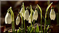 NC8500 : Snowdrop Flowers by Andrew Tryon