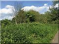SP2965 : Several dead elm suckers, Myton Fields, Warwick by Robin Stott