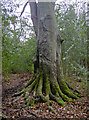 ST5373 : Nothing holds fast like a beech tree by Neil Owen