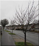 ST3090 : Deciduous trees on the west side of Rowan Way, Malpas, Newport by Jaggery