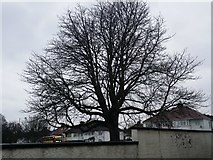 TQ2087 : Tree on Church Lane, Kingsbury by David Howard