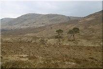 NM9372 : Pines, Cona Glen by Richard Webb