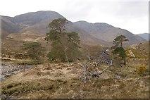 NM9372 : Pines beneath Stob Mhic Bheathain by Richard Webb