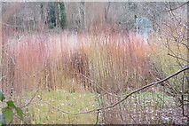 SX7962 : Willow growing for wicker coffins by John C