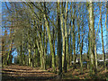 ST1177 : A path through beech woodland, St Fagans National History Museum by Robin Drayton