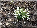NZ1164 : Snowdrops by the Tyne by Oliver Dixon