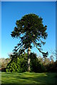 NG2448 : Monkey puzzle (Araucaria araucana) in the castle grounds by Tiger