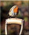 NT4936 : A robin on a spade handle : Week 9
