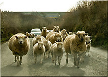 SS2314 : Sheep & lambs heading towards Shop by Roger A Smith