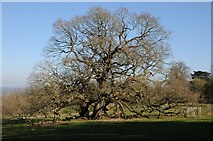 SO6854 : Mature oak in Brockhampton Park by Philip Halling
