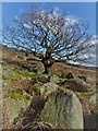 SK2682 : Gnarled tree in the Burbage Valley : Week 11