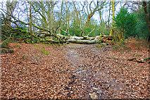 SU2808 : Tree on the Path, Lyndhurst Hill by Des Blenkinsopp