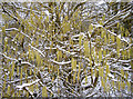ST6268 : Chilly catkins by Neil Owen