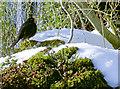 ST5251 : A Priddy blackbird by Neil Owen