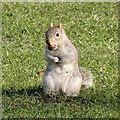 TQ2979 : Squirrel in St James's Park by Rudi Winter