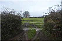 SX4975 : Sheep grazing by N Chadwick