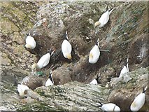 TA1974 : Birdseye view of gannets at Jubilee Corner by Oliver Dixon