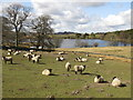 NY8260 : And sheep shall safely graze by Mike Quinn