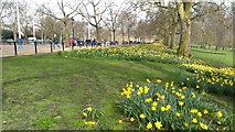 TQ2979 : Daffodils in St James's Park by Philip Halling