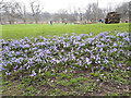 SE2536 : Blue spring flowers at Kirkstall Abbey by Stephen Craven