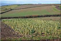 SX9370 : Field of Brussel Sprouts by N Chadwick