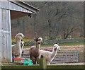 NT3137 : Alpacas near Innerleithen by Jim Barton