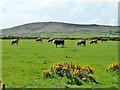 SW4840 : Cattle, Trevega Wartha by Robin Webster