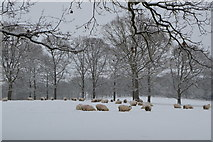 TQ5743 : Sheep in the snow by N Chadwick