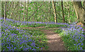 TQ6895 : Carpet of Bluebells, Norsey Wood, Billericay : Week 17